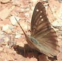 Hackberry Emperor - aberrant - Asterocampa celtis - male