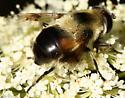 Syrphid - Eristalis anthophorina - female