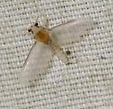Caenis - female