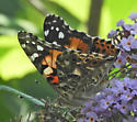 Is this a Painted Lady? - Vanessa cardui