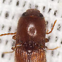 Click Beetle - Glyphonyx bimarginatus