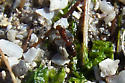 Unidentified ant - Solenopsis invicta