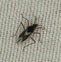 Hemiptera - Mesovelia