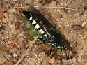 Bicyrtes - Bicyrtes quadrifasciatus - female