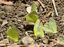 Mexican Yellows - Eurema mexicana