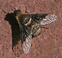 Anthracinae sp - Rhynchanthrax