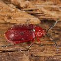 Unknown Beetle - Tricholochmaea