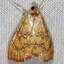White-roped Glaphyria Moth - Glaphyria sequistrialis