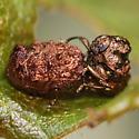 Mating ?Neochlamisus - male - female