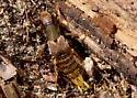 weird bug - Platydracus