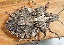 Rough Stink Bug - Brochymena arborea