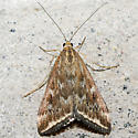 Loxostege sticticalis - Beet Webworm Moth - Loxostege munroealis