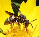 Bee - Epeolus bifasciatus