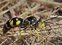 Sand Wasp sp, cf Steniolia - Steniolia scolopacea - male