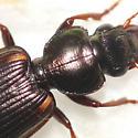 Ground beetle - Apenes lucidula