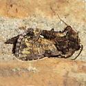 Unknown Moth - Chytonix palliatricula