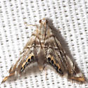 Feather-edged Petrophila - Hodges #4777 - Petrophila fulicalis