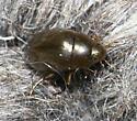 Tropisternus sp. - Tropisternus