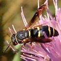 Wasp - Euodynerus hidalgo - female