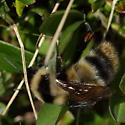 More of the hairs - Bombus balteatus - female