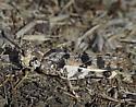 Striped Grasshopper - Dissosteira pictipennis - male