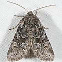 Lacinipolia pensilis - female