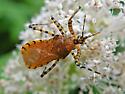 Orange Bug - Pselliopus