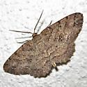 Geometer moth - Melanolophia ? - Melanolophia canadaria