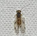 020312Blice2 - Pseudocaecilius