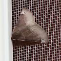 Img 1492 - Caripeta triangulata