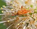 Small Assasin Bug? - Neurocolpus nubilus