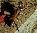 Sceliphron caementarium