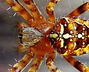 spider - Araneus diadematus