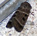 Striped Brown and Black Moth - Agnorisma