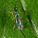 Tiny Green Wasp - Torymus - female