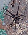 possibly a giant house spider - Eratigena atrica