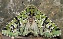 Comstock's sallow - Feralia comstocki
