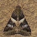 Melipotis perpendicularis - Melipotis indomita