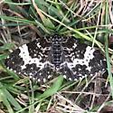 Rheumaptera hastata - male