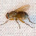 Tiger Fly - Coenosia - female