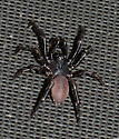 Please help us to identify this spider. - Ummidia
