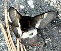 Buck Moth - Hemileuca maia