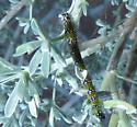 Tent caterpillar on bush lupine - Uresiphita reversalis