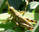 Unknown Grasshopper - Melanoplus differentialis - male