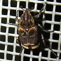 Minuscule beetle - Valgus seticollis