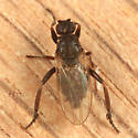 Lesser Dung Fly - Sphaerocera curvipes