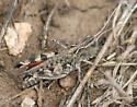 unknown small grasshopper - Ageneotettix deorum - female