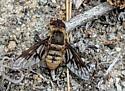 Mystery Bee Fly
