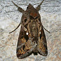 Unknown Noctuidae - Chrysodeixis includens