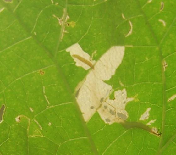 St. Andrews leaf miner on Ipomoea purpurea SA539 2016 14 - Cosmopterix astrapias